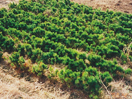 強い松の栽培写真
