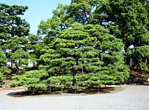 松の種類は世界に約100。日本にはそのうちの8種類(※)があります。